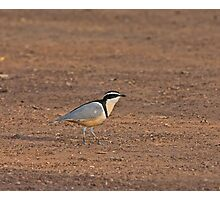 Egyptian Plover Photographic Print