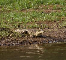 Crocodile at Simenti by Sue Robinson