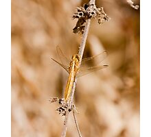 Golden Dragonfly at Simenti Photographic Print