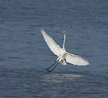 Great White Egret at Tendaba by Sue Robinson