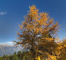 Walking along the Zirbenweg - Swiss Stone Pine by Stefan Trenker
