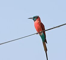 Northern Carmine Bee-eater by Sue Robinson