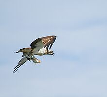 Osprey With Fish by Sue Robinson
