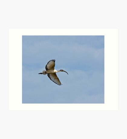 Sacred Ibis in The Gambia Art Print