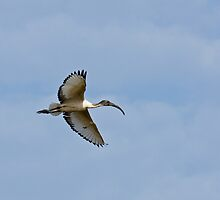 Sacred Ibis in The Gambia by Sue Robinson