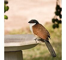 Senegal Coucal Photographic Print