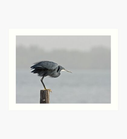 Western Reef Heron about to fly Art Print