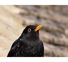Common Blackbird Close-up Photographic Print