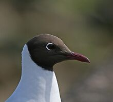 Black-headed Gull close-up by Sue Robinson