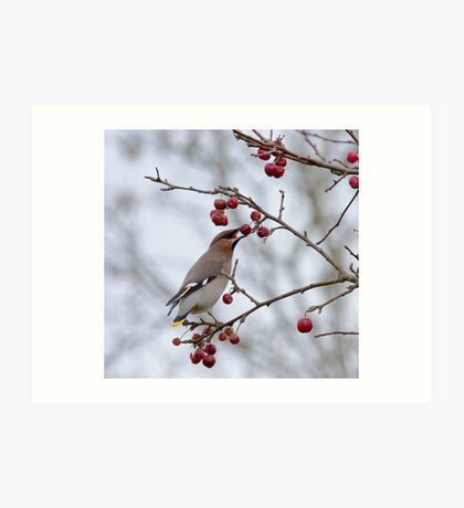 Bohemian Waxwing eating berry Art Print