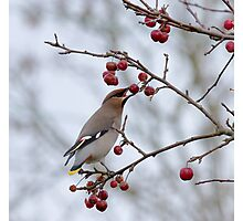 Bohemian Waxwing eating berry Photographic Print