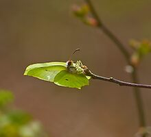 Brimstone Butterfly laying eggs by Sue Robinson