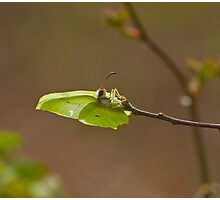 Brimstone Butterfly laying eggs Photographic Print