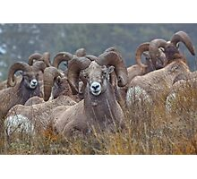 Resting Rams Photographic Print