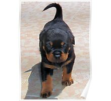 Cute Rottweiler Puppy Walking Towards The Camera Poster