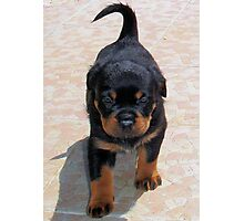 Cute Rottweiler Puppy Walking Towards The Camera Photographic Print