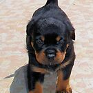 Cute Rottweiler Puppy Walking Towards The Camera by taiche