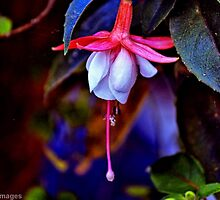 Flirtatious Fuschia by wallarooimages