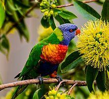 the nectar hunters - Rainbow Lorikeet by FatBurns