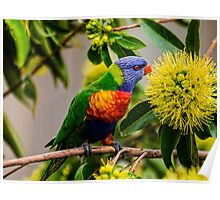the nectar hunters - Rainbow Lorikeet Poster