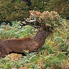 Red Stag Wearing A Fern Fedora by Alan Forder