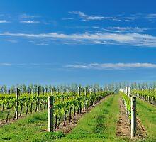 vineyard in the spring #2 by metriognome