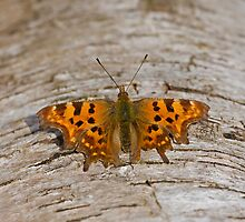 Comma Butterfly by Sue Robinson