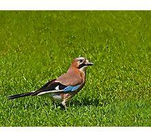 Eurasian Jay Photographic Print