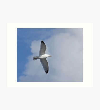 Herring Gull soaring Art Print
