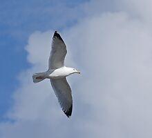 Herring Gull soaring by Sue Robinson