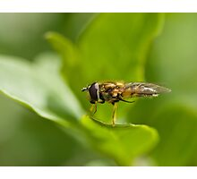 Hoverfly grooming Photographic Print