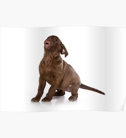 Funny brown puppy retriever Poster