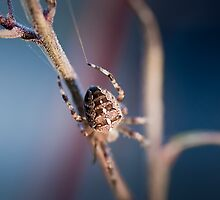 Spider in night time - Araña nocturna by ACPerona