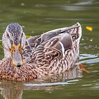 Duck on water by Ian Tilly