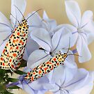 Crimson Speckled Moths by jimmy hoffman