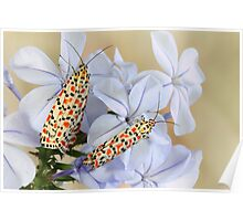 Crimson Speckled Moths Poster