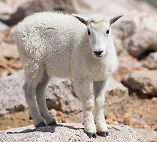 Baby Goat by Luann wilslef