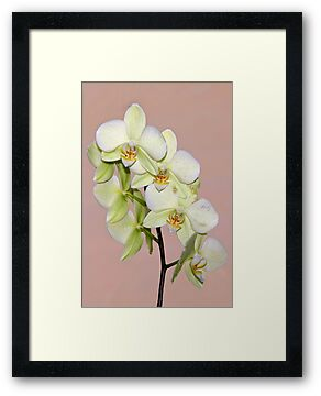 Pale Green Orchids by cclaude