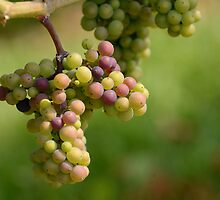 Wine in the making by Nancy Duquet-Harvey