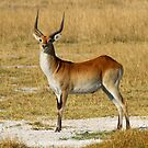 A majestic red Lechwe by jozi1