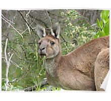 Kangaroo at Dunsborough, Western Australia Poster