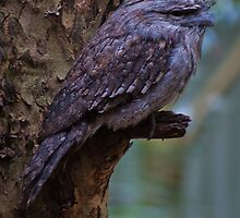 Tawny Frogmouth 2 by Deborah McGrath