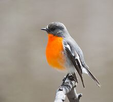 Flame Robin at the pond  by Ron Co