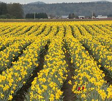Skagit Valley by Tanya Shockman
