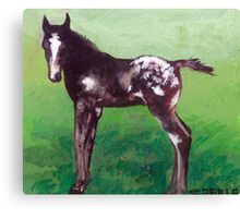Appaloosa Foal Canvas Print