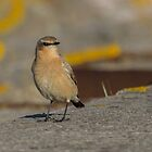 Common Wheatear.. by Lauren Tucker