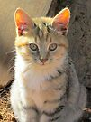 Sunlit Kitten by Ginny York