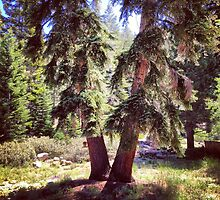 Two Trees in Tahoe by omhafez