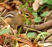 Chippy in the Woods by lorilee