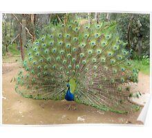 Peacock at Toodyay Caravan Park, Western Australia Poster